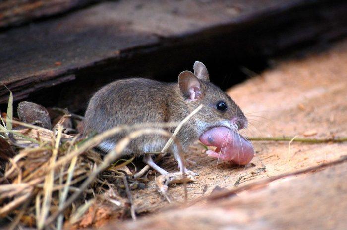 Размножение домовой мыши фото