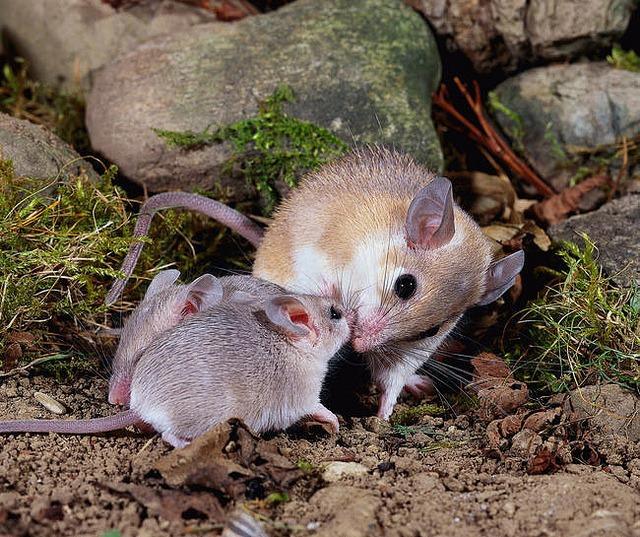 Размножение иглистой мыши фото