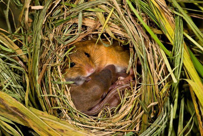 Размножение полевой мыши фото