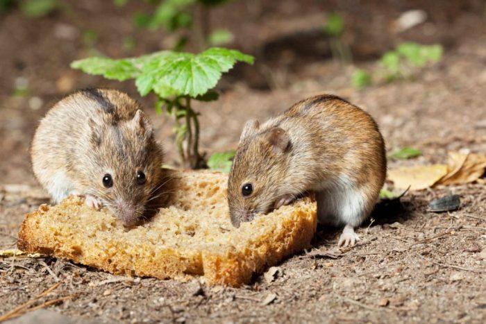 Самец и самка домовой мыши: основные отличия фото