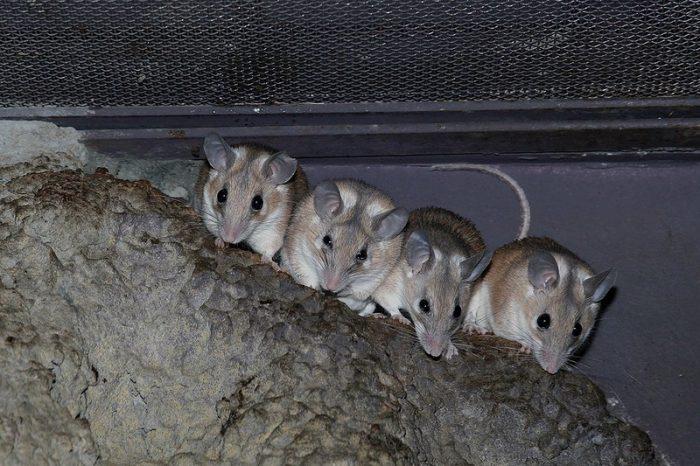 Самец и самка иглистой мыши: основные отличия фото