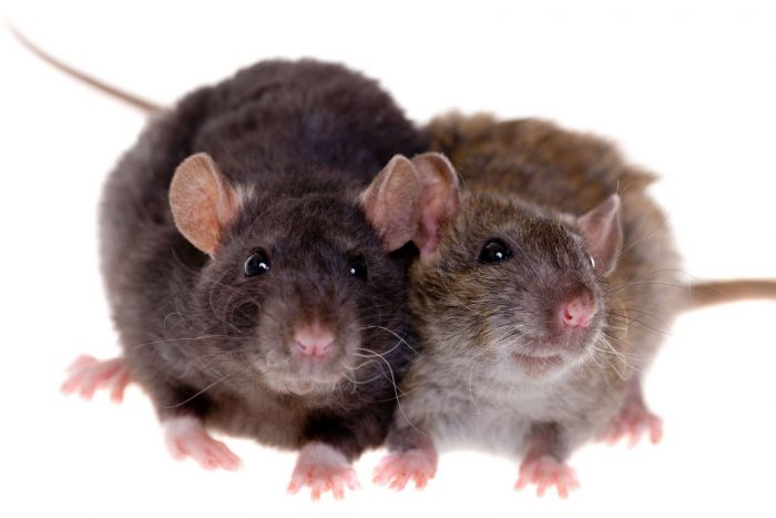 Самец и самка крысы: основные отличия фото