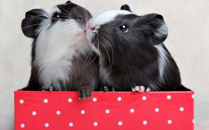 Самец и самка морской свинки: основные отличия фото