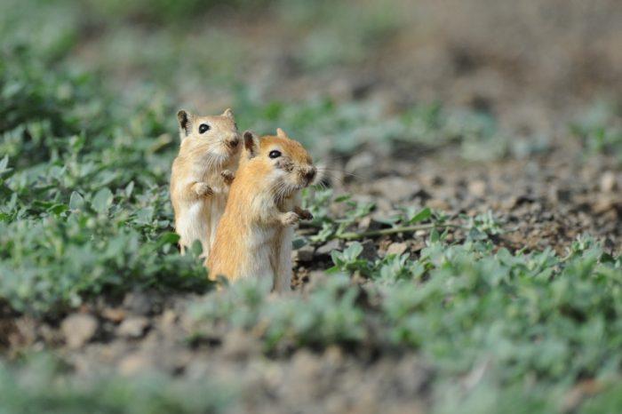 Самец и самка песчанки: основные отличия фото