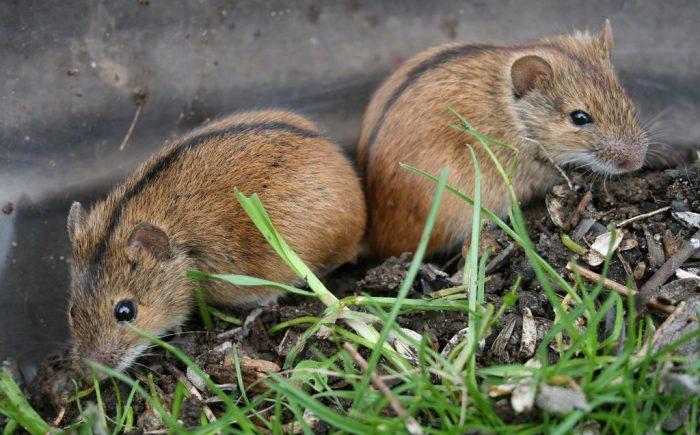 Самец и самка полевой мыши: основные отличия фото