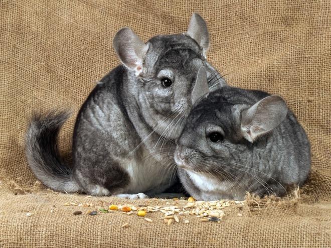 Самец и самка шиншиллы: основные отличия фото