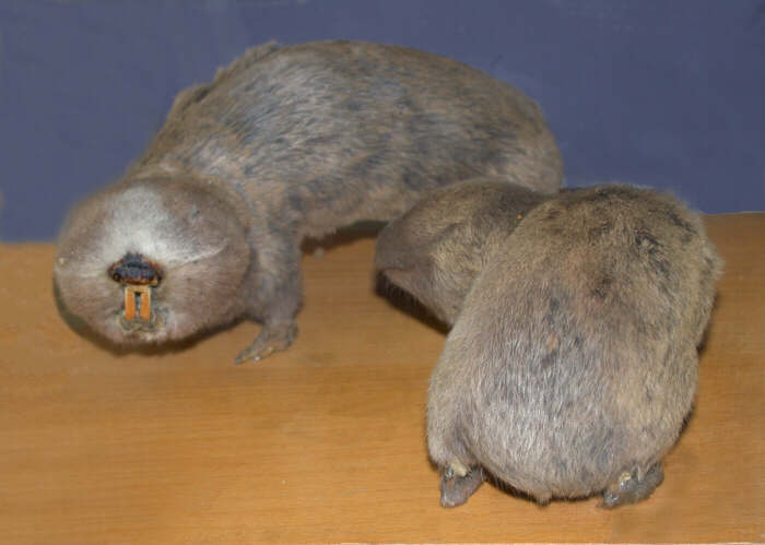 Самец и самка слепыша: основные отличия фото
