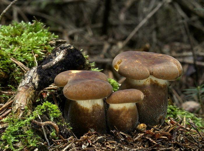 свинушка грибы фото