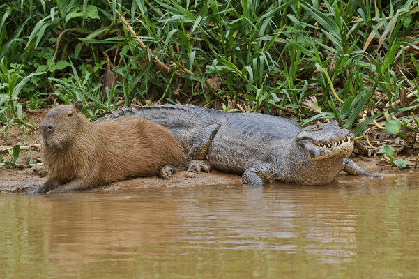 Естественные враги капибар фото