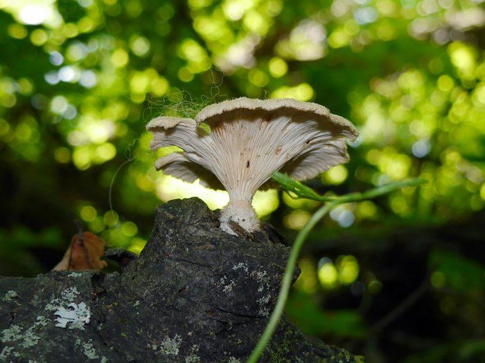 Выращивание гриба пилолистника в домашних условиях фото