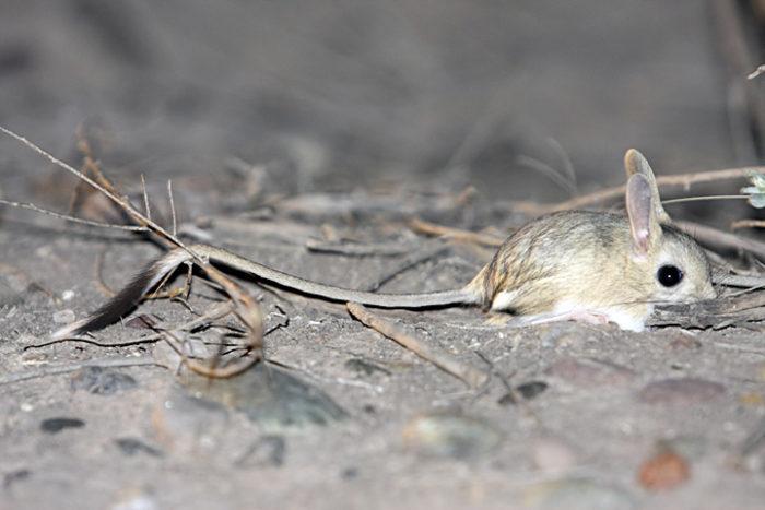 Малый тушканчик (Allactaga elater) фото