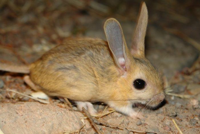 Большой тушканчик или земляной заяц (Allactaga major) фото
