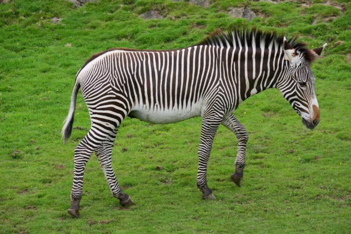 Зебра Греви или пустынная зебра (Equus grevyi) фото