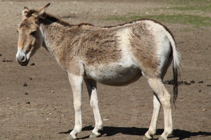 Монгольский кулан (Equus hemionus hemionus) фото