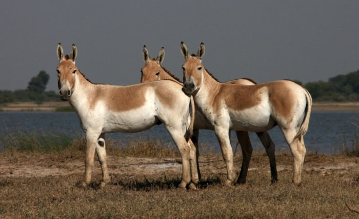 Индийский кулан (Equus hemionus khur) фото