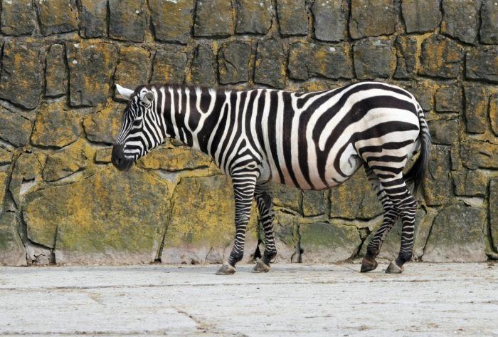 Бурчеллова зебра или саванная зебра (Equus quagga) фото