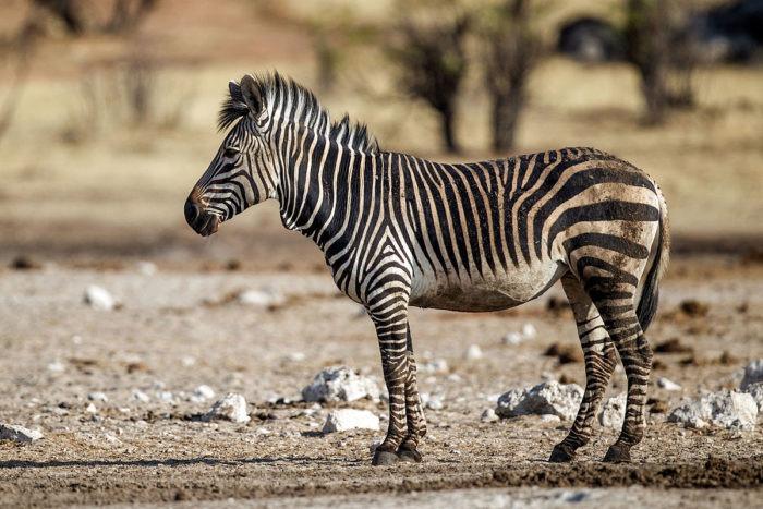 Горная зебра Хартмана (Equus zebra hartmannae) фото