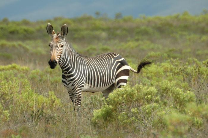 Капская горная зебра (Equus zebra zebra) фото