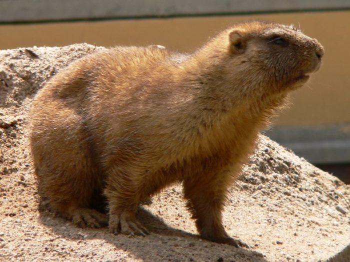 Байбак (Marmota bobak) фото