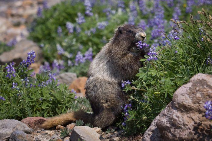Седой сурок (Marmota caligata) фото