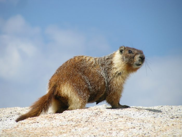 Желтобрюхий сурок (Marmota flaviventris) фото