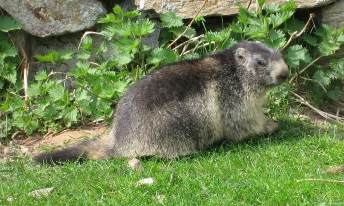 Альпийский сурок (Marmota marmota) фото