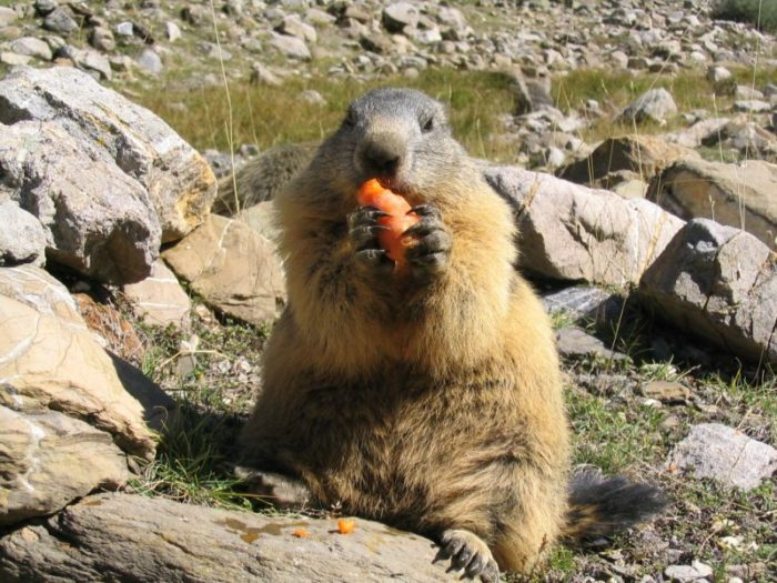 Сурок Мензбира (Marmota menzbieri) фото