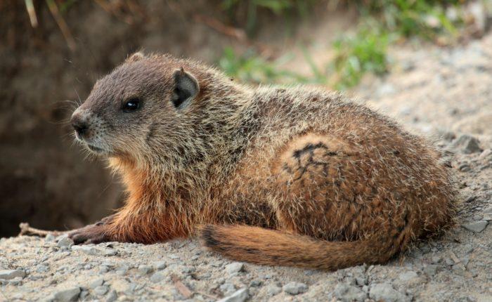 Лесной сурок (Marmota monax) фото