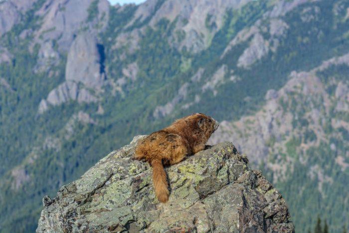 Олимпийский сурок (Marmota olympus) фото