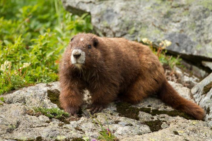 Ванкуверский сурок (Marmota vancouverensis) фото