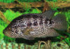 Цихлазома Манагуанская, цихлида ягуар фото