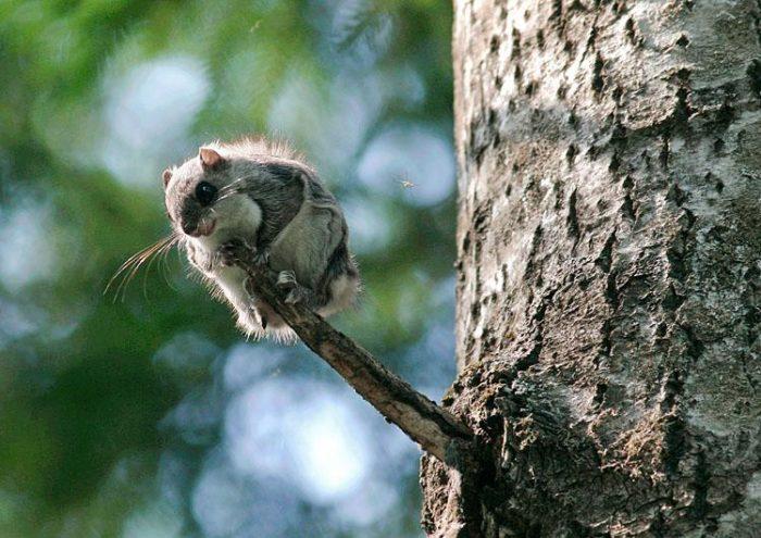 Обыкновенная летяга или белка-летяга, или летучая белка (Pteromys volans) фото