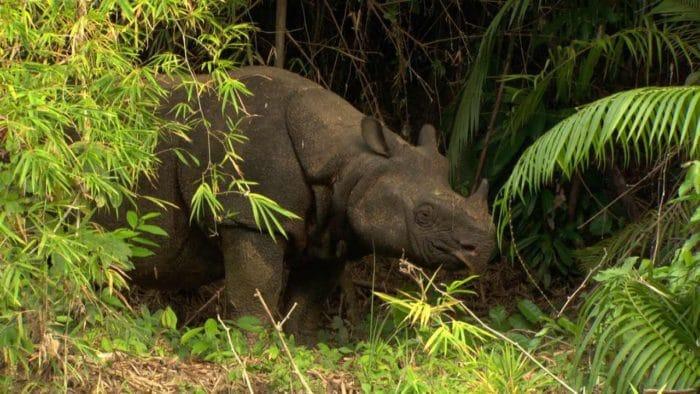 Яванский носорог (Rhinoceros sondaicus) фото