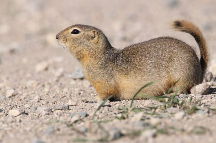 Суслик Ричардсона (Spermophilus richardsonii) фото