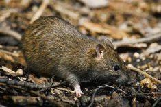 Крысовидный хомячок (Tscherskia triton) фото