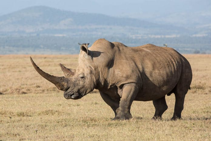 Видео: носорог превратил автомобиль в груду металлолома