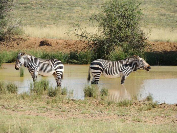 Интересные факты о зебре горной фото