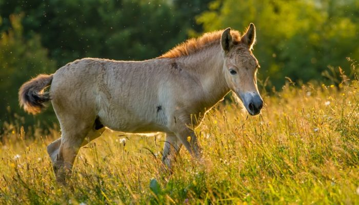 Интересные факты о лошади Пржевальского фото
