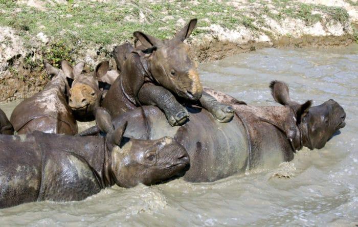 Интересные факты о носороге индийском фото