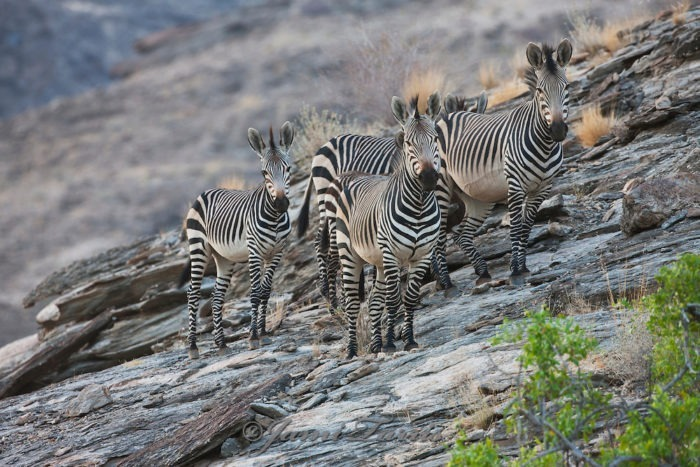 Описание зебры горной фото
