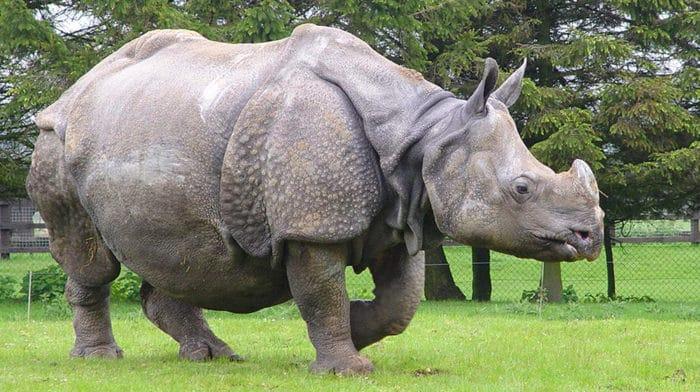 Описание носорога индийского фото
