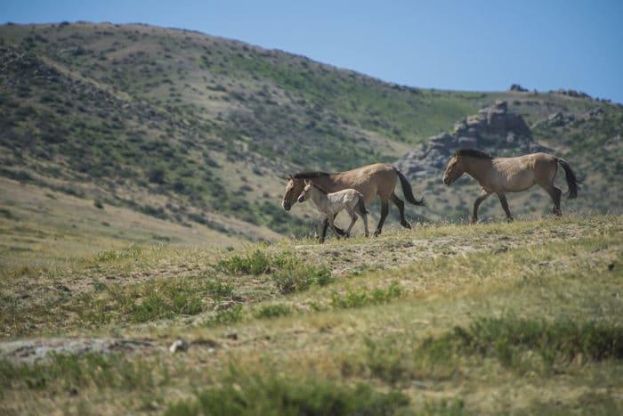 Описание лошади Пржевальского фото