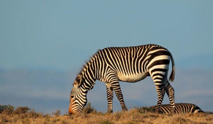 Особенности питания зебры горной фото