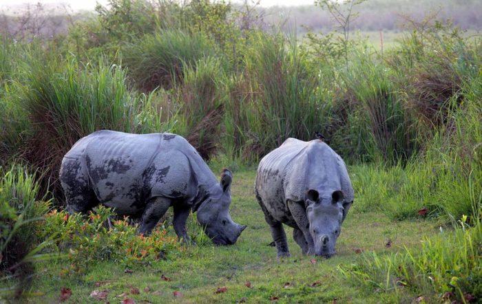 Особенности питания носорога индийского фото