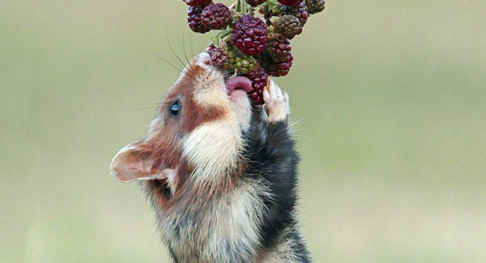 Особенности питания хомяка фото
