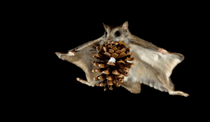 Особенности питания летяги фото