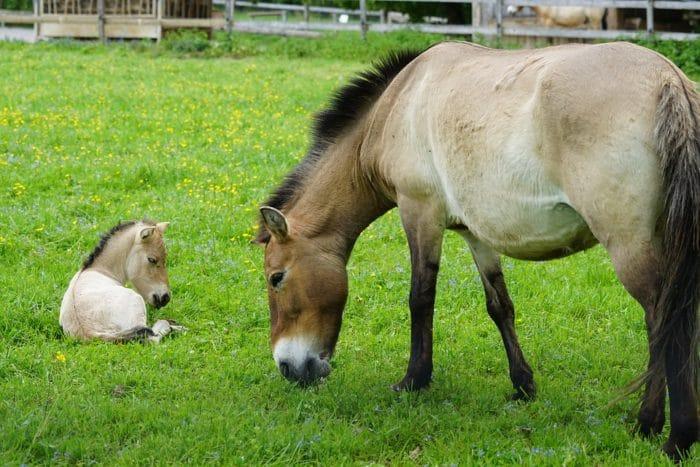 Особенности питания лошади Пржевальского фото