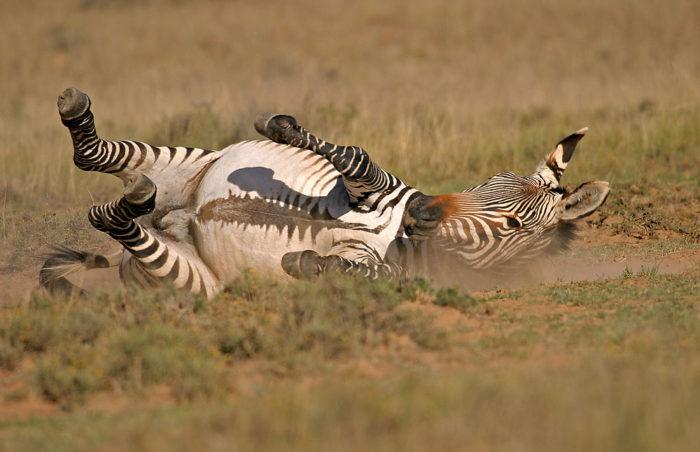 Поведение зебры горной фото