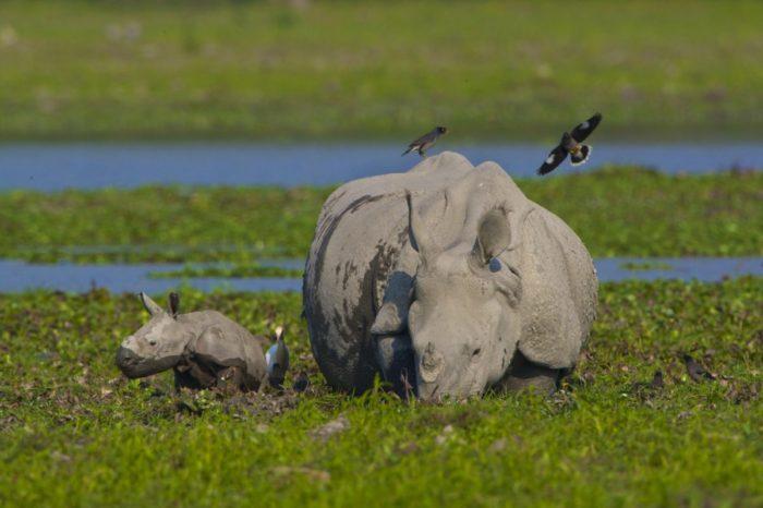 Поведение носорога индийского фото