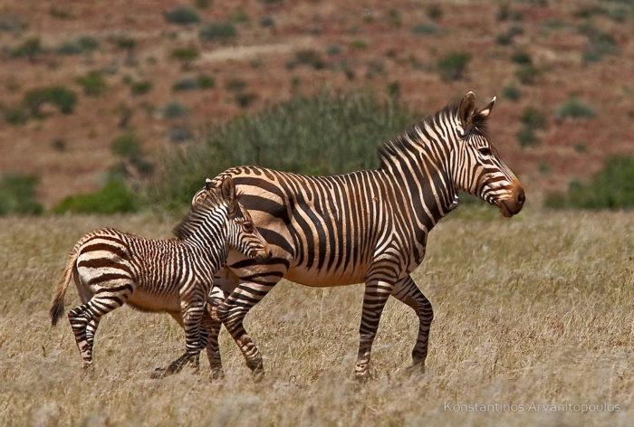 Размножение зебры горной фото